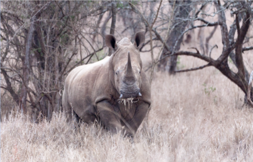 A legal trade in horn would improve rhino protection and help sustainable development
