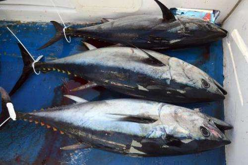 A load of bluefin tuna is pictured in a boat on the Mediterranean coast of southern France on May 17, 2014