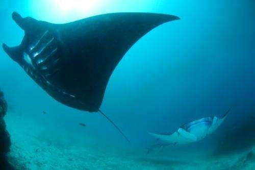 A manta ray swims in the waters of Raja Ampat in eastern Indonesia's remote Papua province, as shown in this Conservation Intern