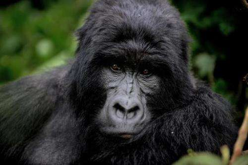 An adult male gorilla sits in a clearing in the Virunga National Park in the Democratic Republic of the Congo on November 28, 20