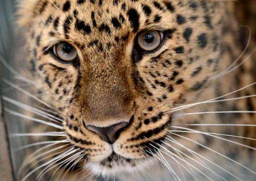 An Amur leopard on April 3, 2013 at the zoo in Leipzig, eastern Germany