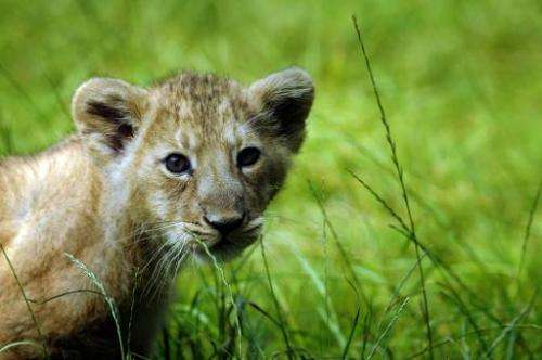 An Asian lion cub at the zoo in Mulhouse, eastern France on July 11, 2008