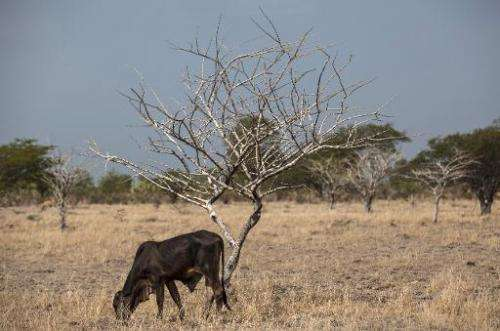 An emaciated young bull grazes near San Francisco Libre, 70 km from Managua, on July 30, 2014
