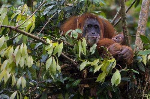 An endangered Sumatran orangutan cradles her baby in the Leuser National Park, but environmental activists fear ape habitats are