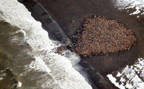 An estimated 35,000 walruses gather on shore about 8 km north of Point Lay, Alaska, on September 23, 2014