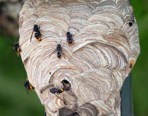 A nest of Asian hornets is seen in Saint-Paul-les-Dax, southwestern France, on August 5, 2014