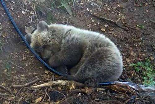 An image grabbed from a handout video released on November 24, 2014 by the Pyrenees Animal Park shows bear cub Auberta in the Ar