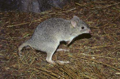 A northern bettong.  Australia's big kangaroos are thriving, but wildlife campaigners hold fears for their smaller cousins