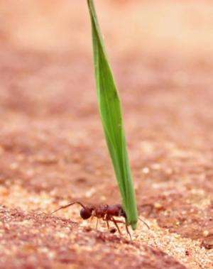 Ants shape their thoraces to match the tasks they perform