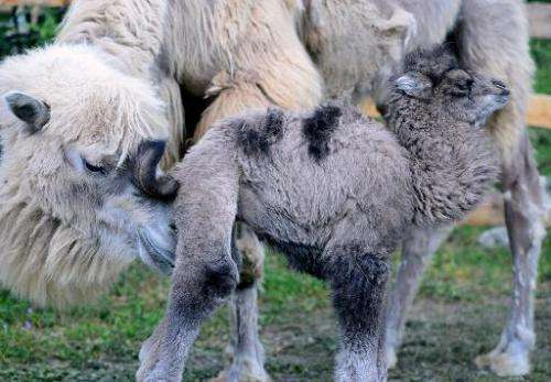 A one-week young camel, named Ilias, and its eight-year old mother, Iris, are pictured in Budapest Zoo and Botanic Garden on Apr