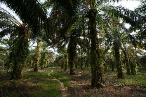 A palm oil plantation near a forest habitat of endangered Sumatran orangutan on Indonesia's Sumatra island, on April 10, 2013
