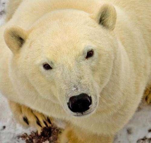A polar bear outside Churchill, Mantioba, Canada on November 14, 2007