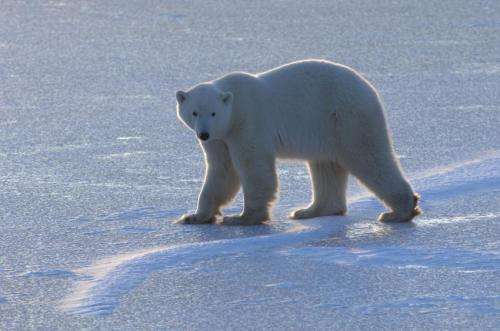 Arctic conditions may become critical for polar bears by end of 21st century