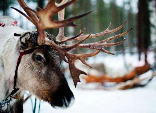 A Reindeer is seen in the Finnish Lapland, on December 15, 2011