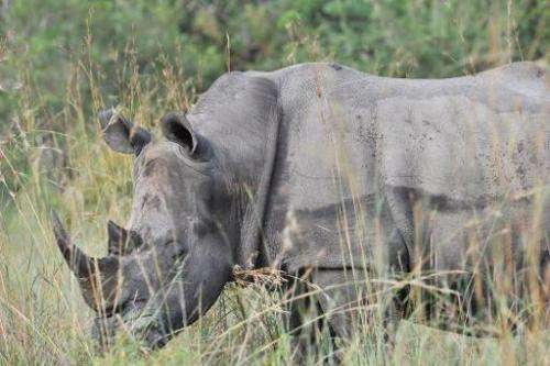 A rhinoceros in the Kruger National Park on February 6, 2013