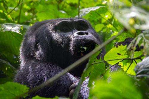 A silverback gorilla is seen eating leaves during a gorilla trek in Bwindi Impenetrable National Park, in Uganda, on May 24, 201