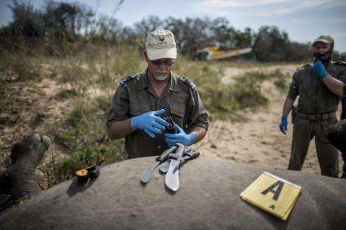 A South African Park authority ranger prepares tools to open the carcass of a poached and mutilated white rhino as forensic inve