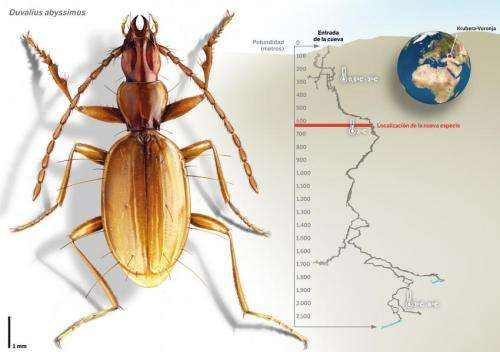 A Spaniard and a Portuguese discover a new species of beetle in the world's deepest cave