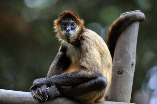 A Spider Monkey sits in an enclosure at the Simon Bolivar Zoo in San Jose, Costa Rica on July 28, 2013