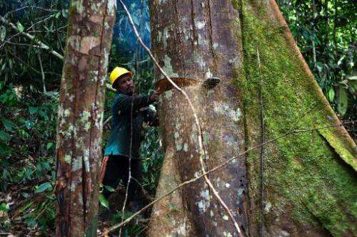 A timber company worker cuts down a tree in the forests of Berau, East Kalimantan, November 13, 2013