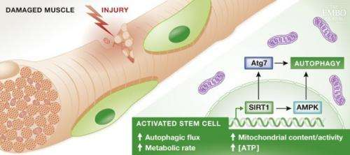 Autophagy helps fast track stem cell activation
