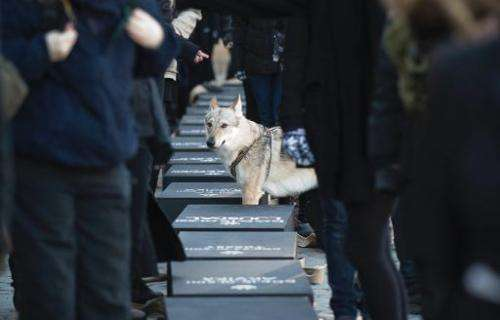 A wolfdog stands among Swedish protestors readying 20 coffins, one for each wolf killed during recently sanctioned hunt, for a p