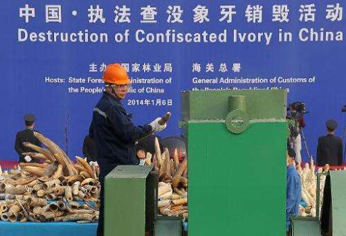 A worker throws a piece of ivory into a machine to be crushed during a public event in Dongguan, south China's Guangdong provinc