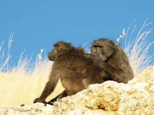 Baboons groom early in the day to get benefits later