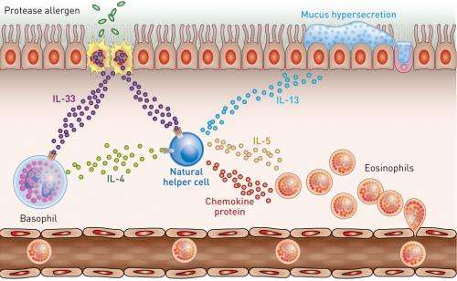 Basophils are found to be key drivers of allergy-induced lung inflammation