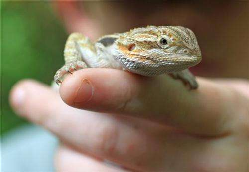 Bearded dragons seen as salmonella source