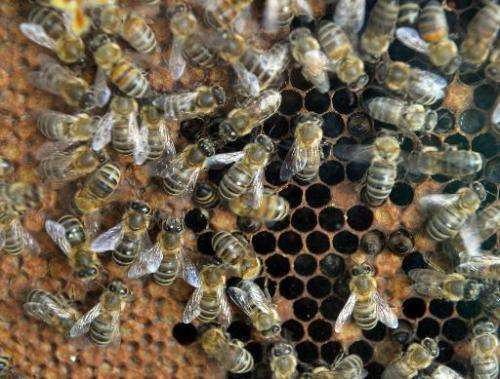 Bees are pictured on a honey gofer in Bucharest on April 4, 2014