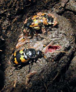 Bigger is not always better, but it helps, says new research on beetles