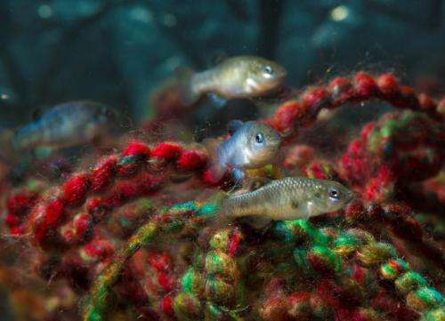 Biologists try to dig endangered pupfish out of its hole