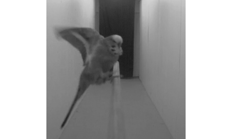 Bird brains may help drones fly and avoid crashing