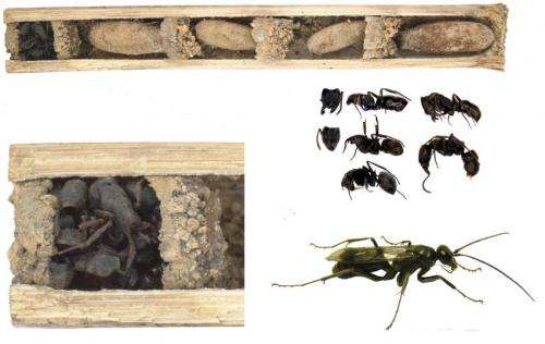 'Bone-house wasp' uses dead ants to protect their nest