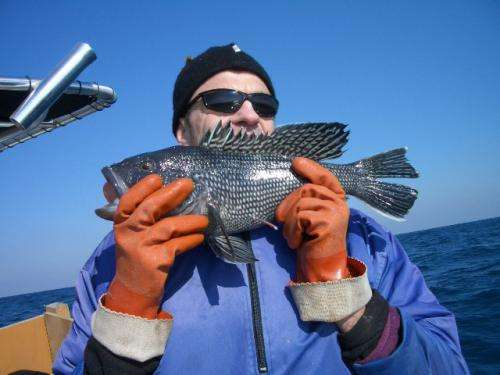 Bucking conventional wisdom, researchers find black sea bass tougher than expected