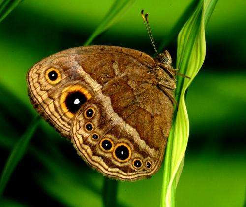 Butterfly 'eyespots' add detail to the story of evolution
