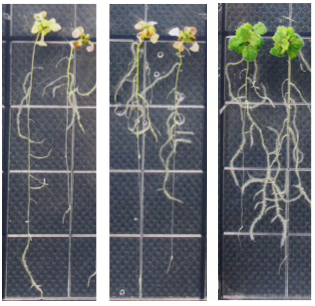 Calcium waves help the roots tell the shoots