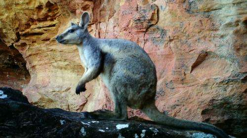 Cameras detect 'extinct' wallabies near Broome