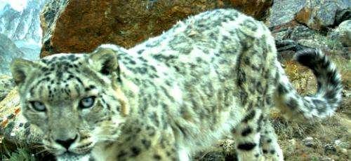 Camera survey gives a rare glimpse into snow leopard family life
