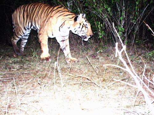 Camera trap images help wildlife managers ID problem tigers in India