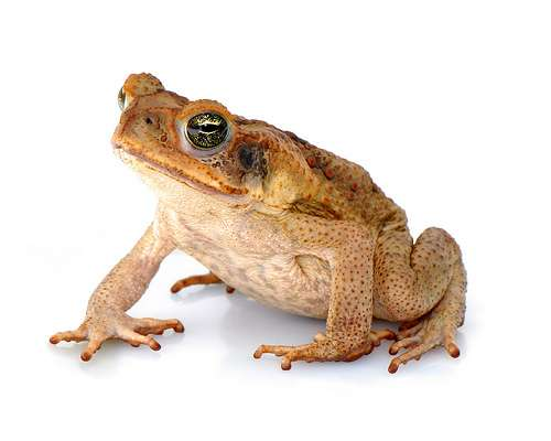 Cane toads demonstrating impressive adaptive abilities in Western Australia