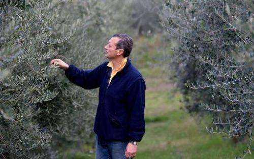 Cesare Buonamici checks olive trees at his farm nestles in Fiesole, Tuscany, on December 2, 2014