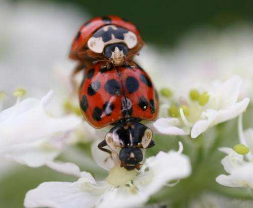 City life key to harlequin ladybird invasion