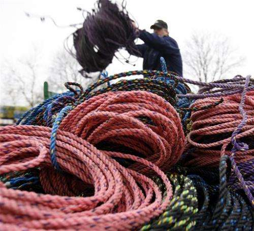 Colored lobster rope could be safer for whales
