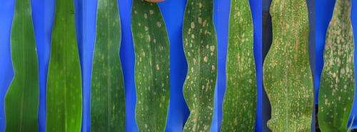 Corn spots: Study finds important genes in defense response