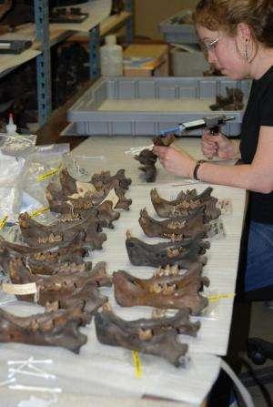 Cougars' diverse diet helped them survive the Pleistocene mass extinction