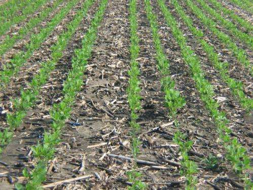Cover crops can sequester soil organic carbon