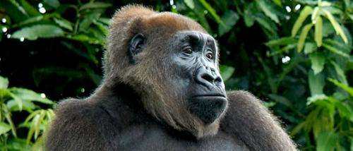 Cross River gorillas to benefit from new protected area in Cameroon