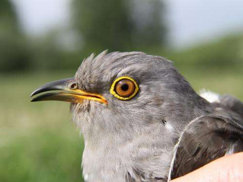Cuckoos stay on course